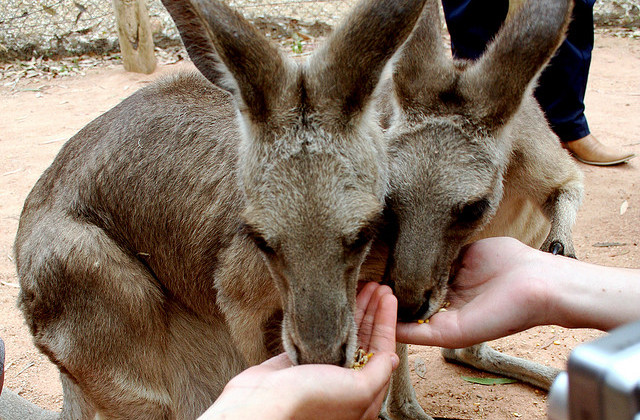 Feeding Kangaroos at the Billabong Sanctuary by by Aidan Jones