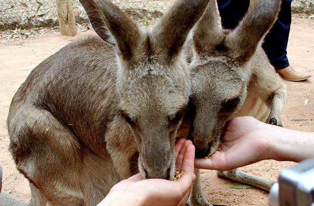 Feeding Kangaroos at the Billabong Sanctuary by by Aidan Jones