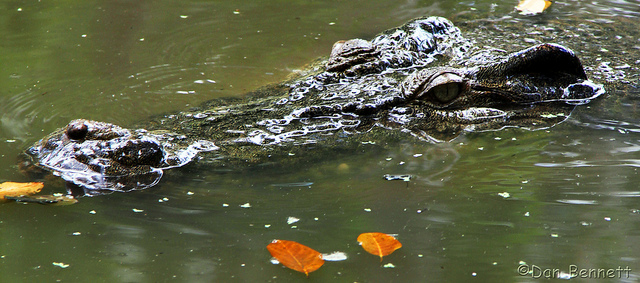 Croc at the Billabong Sanctuary. Photo by Dan on Flickr