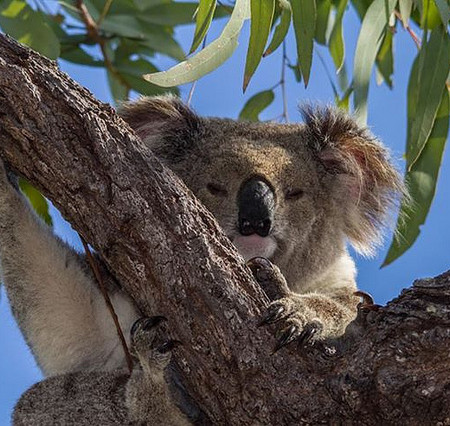 Koala on Magnetic Island by Teddy Fotiou on Flickr