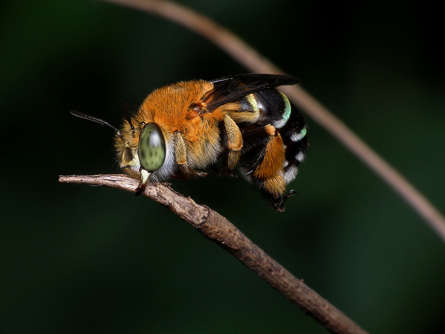Blue Banded Bee by James Niland on Flickr
