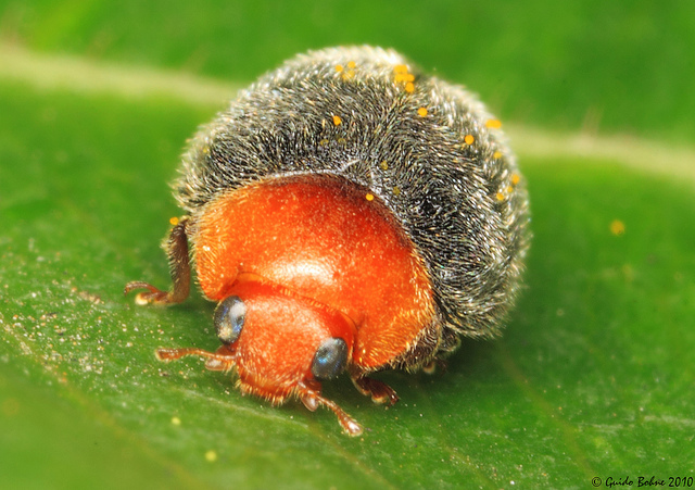 Furry Lady Beetle by gbohne on Flickr