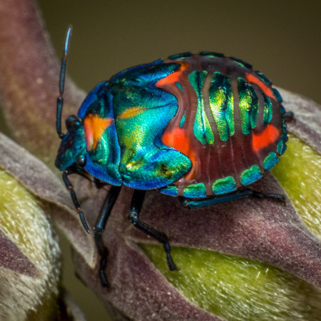 Harlequin Bug by James Niland on Flickr