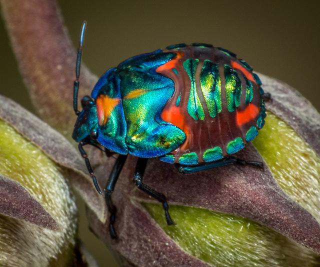 Harlequin Bug by James Niland on Flickr