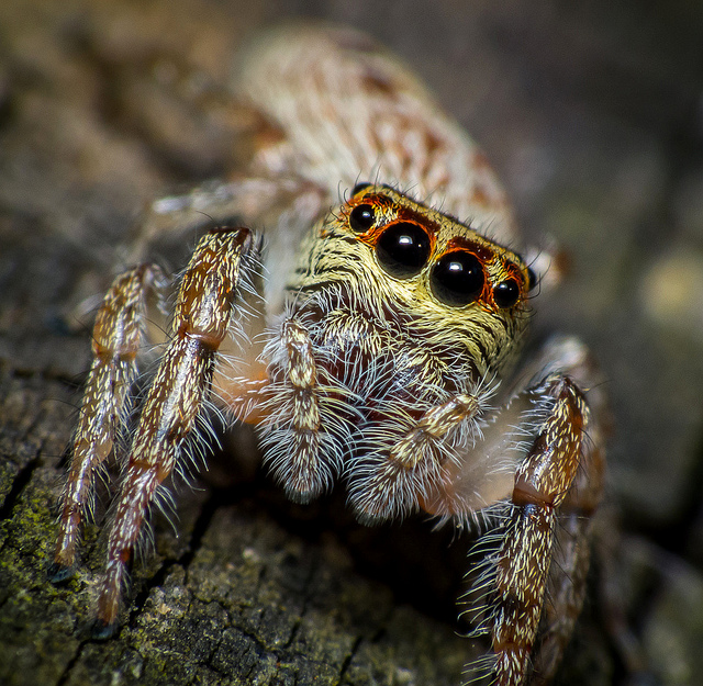 Yikes! Jumping Spider by James Niland on Flickr