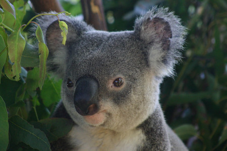 Koala by chem7 on Flickr