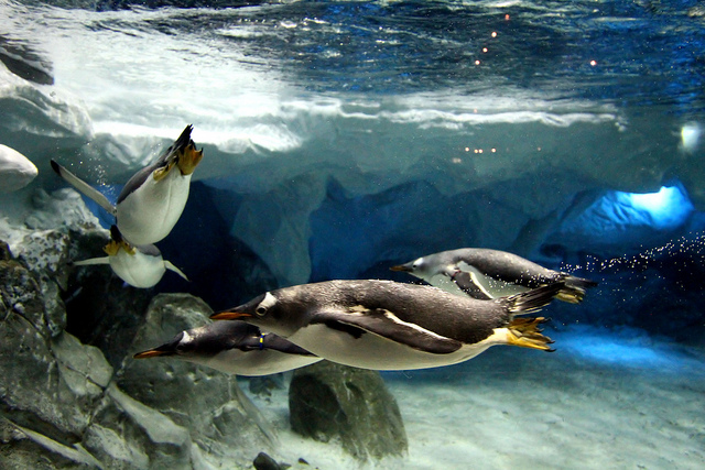 Penguins at Sea World Australia by Phalinn Ooi on Flickr