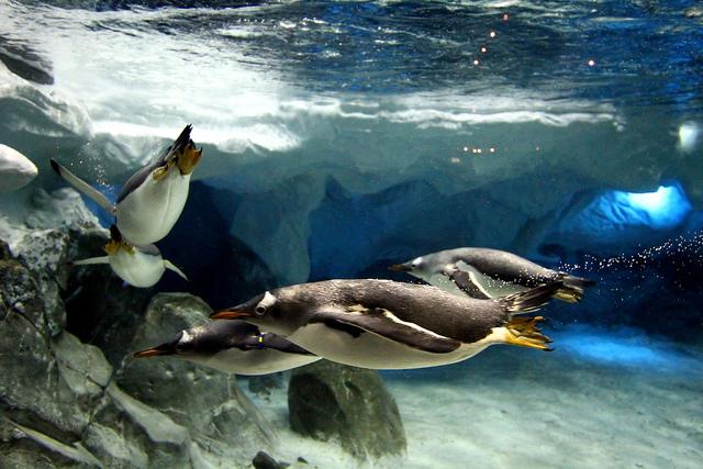 Penguins at Sea World Australia by Phalinn Ooi on Flickr