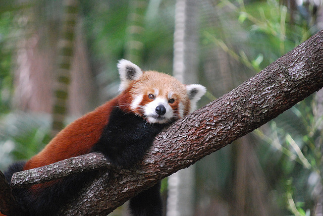Red Panda at Alma Park Zoo by Andrew Napier on Flickr