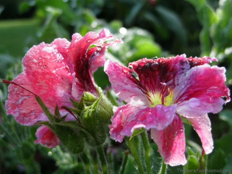 Pink-Flowers-after-the-Rain-800